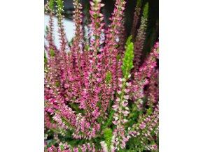 calluna vulgaris sylke (2)