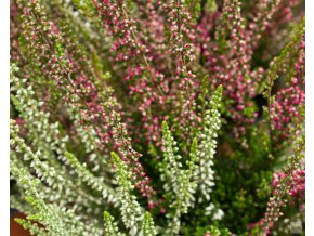 calluna vulgaris athene bettina