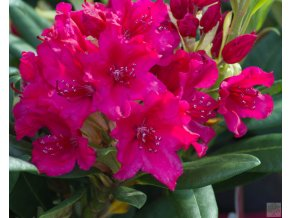 Rhododendron Neon Kiss