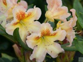 Rhododendron Bernstein