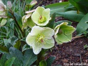 Čemeřice 'HGC® Ice n' Roses White' - Helleborus 'HGC® Ice n' Roses White'