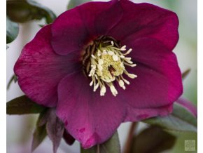 Helleborus King Red M