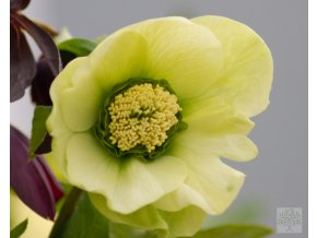 Helleborus 'King E.Yellow'2