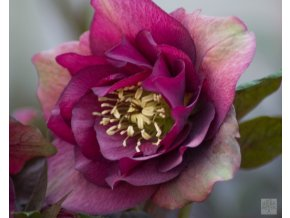 Helleborus Prince Double Red (1)