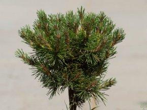 Pinus mugo Velká Fatra (1)