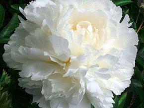 paeonia bowl of cream