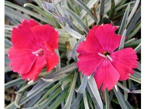 Hvozdík sivý ´Badenia' - Dianthus gratianopolitanus 'Badenia'