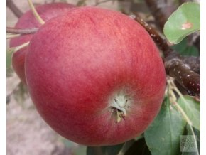 Jabloň ´Růžena Bláhová´