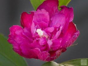 hibiscus syriacus purpurový poloplný