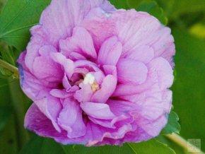 hibiscus syriacus levandulově fialový plný