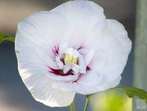 hibiscus syriacus bílý poloplný s okem