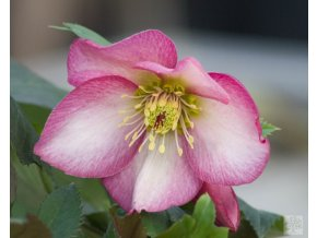 helleborus roses rose