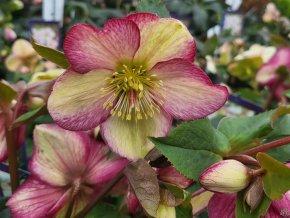 helleborus roses dark picotee (1)