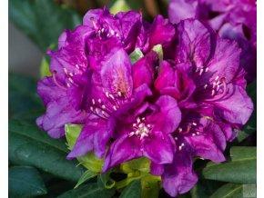 Rhododendron Bohlken's Laguna