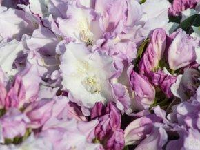 Rododendron ´Hoppy´