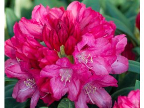 Rhododendron Sneezy