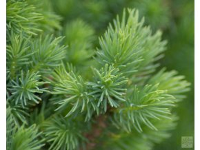 picea pungens conica