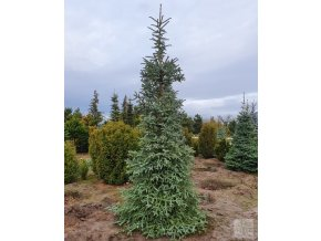 Abies pinsapo hispanica