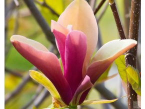 Magnolia First Love