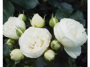 Stromková růže ´Artemis®´