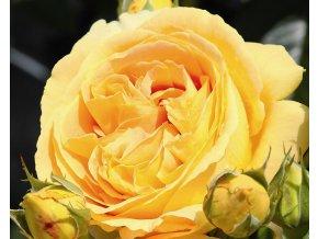 Stromková růže ´Candlelight®´