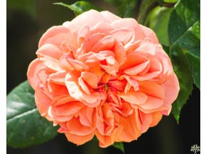 Rosa Chippendale (1)