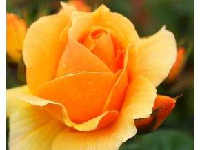 Stromková růže ´Hansestadt Rostock®´