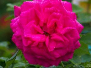 Stromková růže ´Piano®´