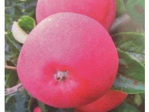 Jabloň ´Dima´ (Balení prostokořenný stromek, Podnož M26)