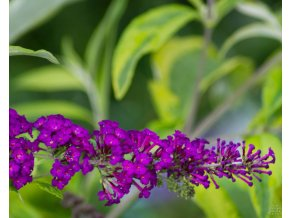 Buddleja davidii Magda's Gold Knight