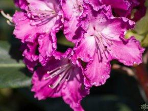 Rhododendron Kokořín