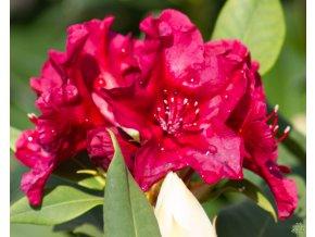 Rhododendron Vranov (2)