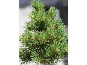 Pinus Thomayer (2)