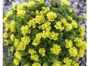 juniperifolia