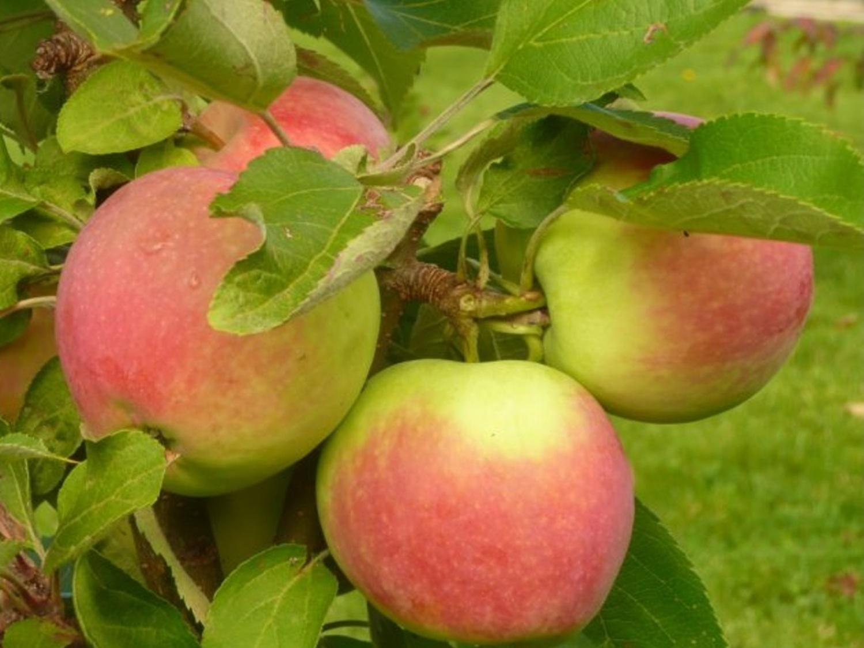 Jabloň sloupovitá ´Canadian´