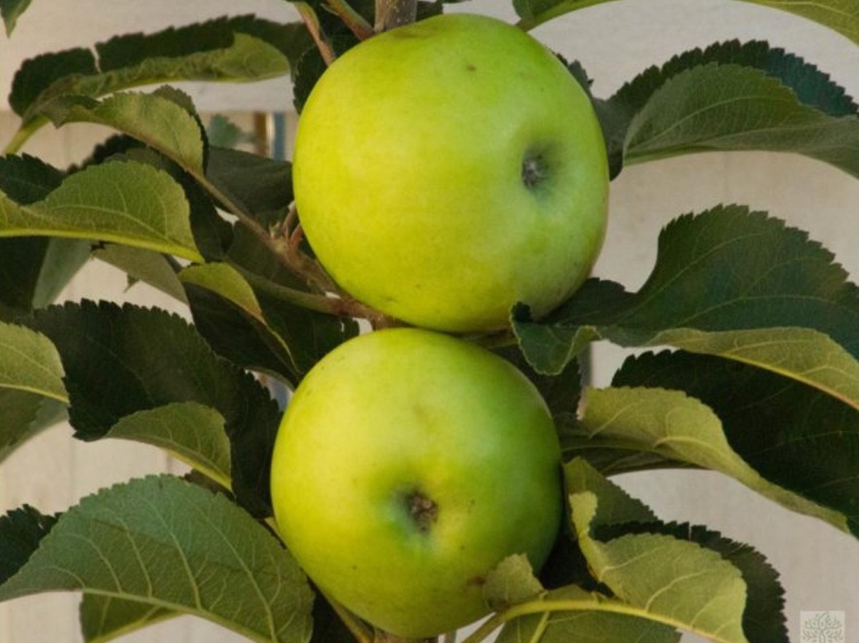 Jabloň sloupovitá ´Nataliuška´