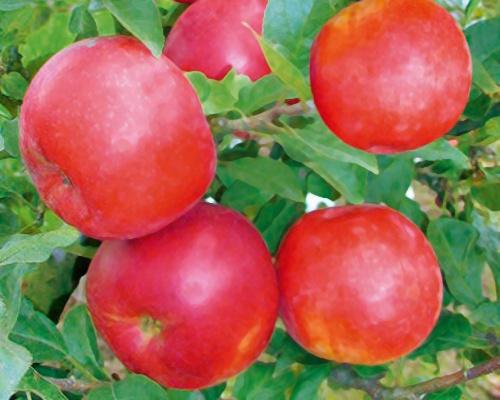 Jabloň sloupovitá ´Pidi´