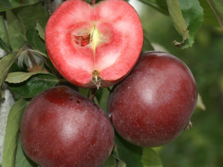 Jabloň sloupovitá ´Pomfital´