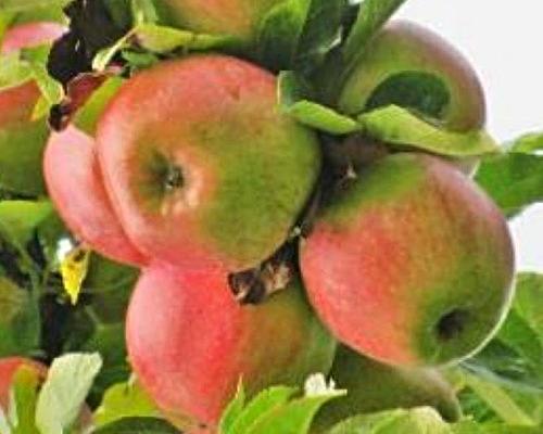 Jabloň sloupovitá ´Slendera´