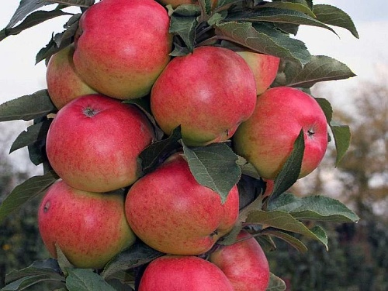 Jabloň sloupovitá ´Valiuta´