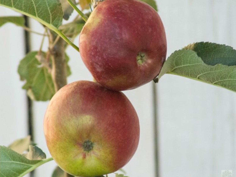 Jabloň sloupovitá ´Vasyugan´