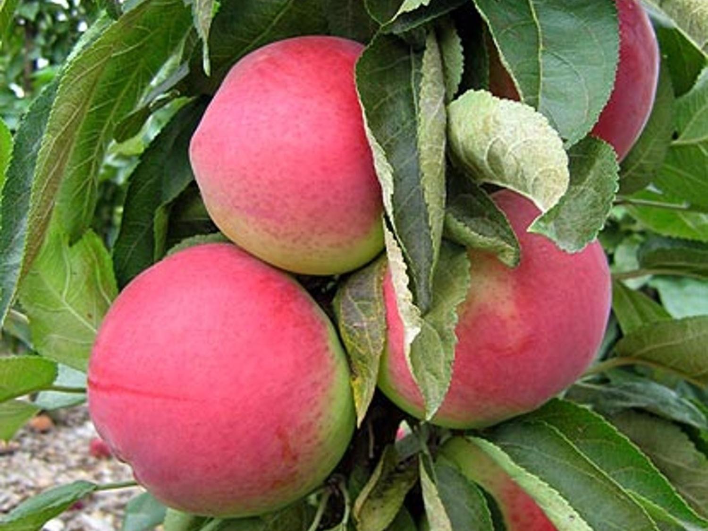 Jabloň sloupovitá ´Zane´