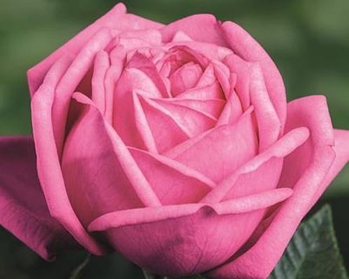 Růže ´Romina´