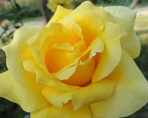 Stromková růže ´Golden Parfum´