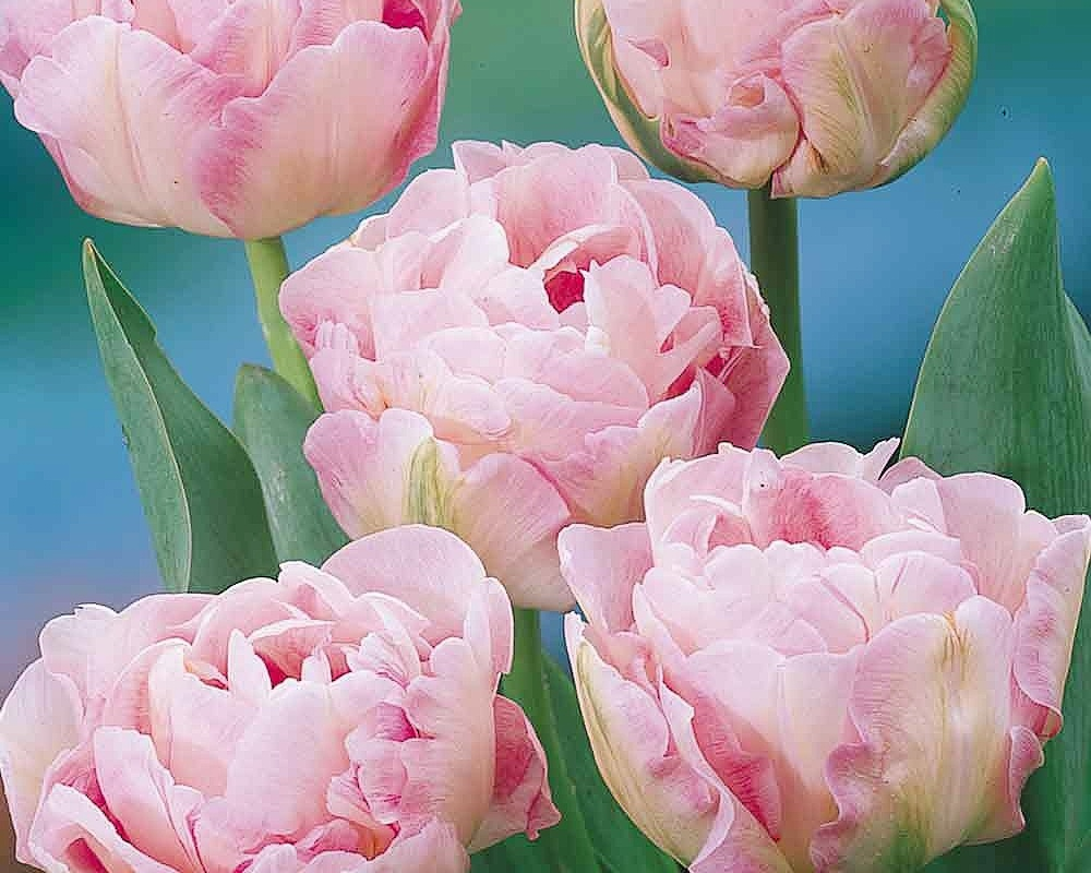 Tulipán ´Angelique´/kontejner