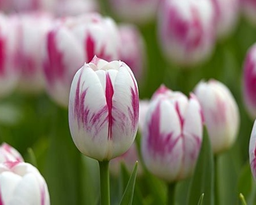 Tulipán ´Blenda Flame´/kontejner