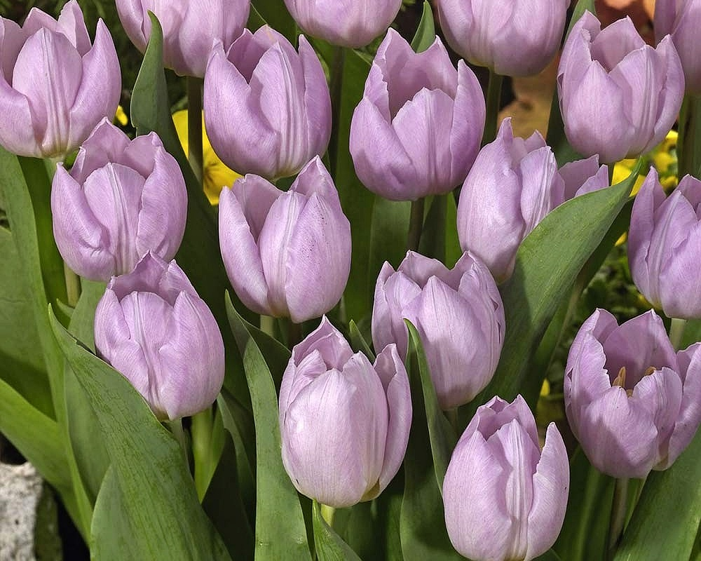Tulipán ´Candy Prince´/kontejner