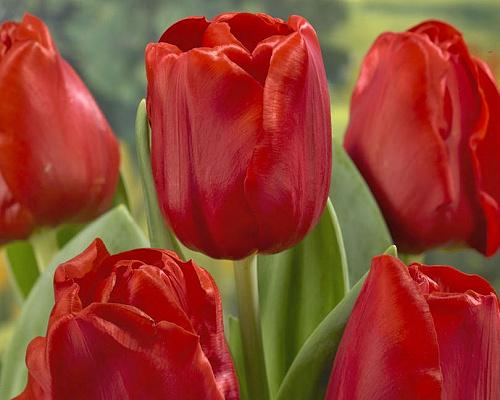Tulipán ´Escape´/kontejner