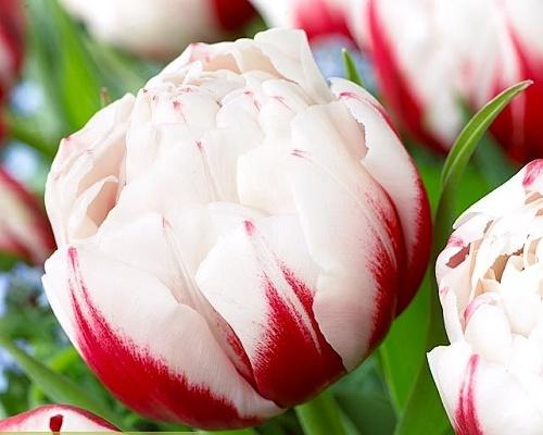 Tulipán ´Horizon´/kontejner