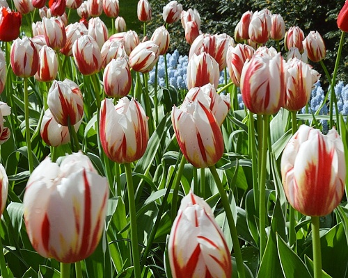 Tulipán ´Happy Generation´/kontejner